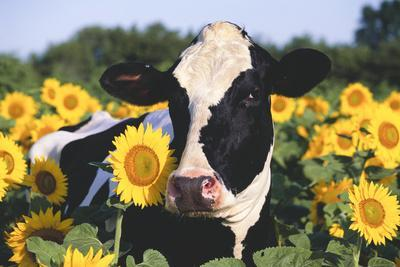 Portrait of Holstein Cow Standing in Sunflowers, Pecatonica, Illinois, USA