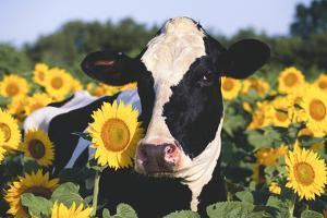 Portrait of Holstein Cow Standing in Sunflowers, Pecatonica, Illinois, USA by Lynn M. Stone