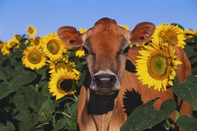 Portrait of Jersey Cow in Sunflowers, Pecatonica, Illinois, USA
