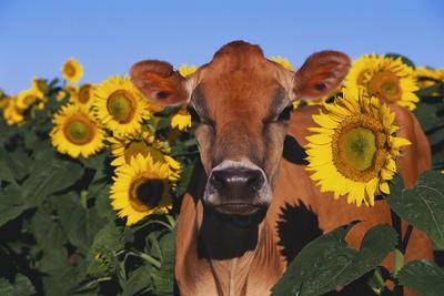 Portrait of Jersey Cow in Sunflowers, Pecatonica, Illinois, USA