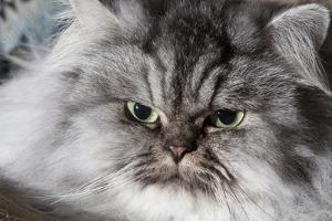 Portrait of Persian Cat by Lynn M. Stone