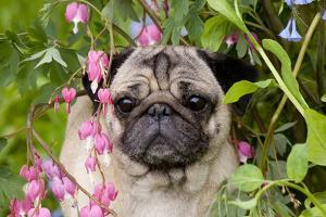Portrait of Pug in Bleeding-Hearts, Rockton, Illinois, USA by Lynn M^ Stone