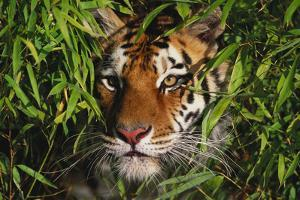 Portrait of Tiger (Panthera Tigris) in Bamboo (Captive) Endangered Species by Lynn M. Stone