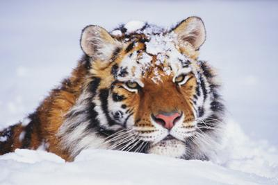 Portrait of Tiger with Snowy Head, Lying in Snow Drift (Captive) Endangered Species by Lynn M. Stone