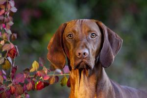 Portrait of Vizsla Standing by Autumn Foliage, Guilford, Connecticut, USA by Lynn M. Stone
