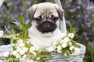 Pug Pup and White Flowers in Silver-Gray Wicker Basket, Santa Ynez, California, USA by Lynn M. Stone