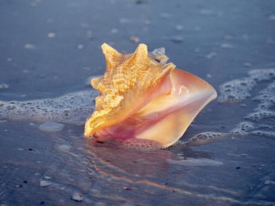 Queen Conch in Sea Foam by Lynn M. Stone