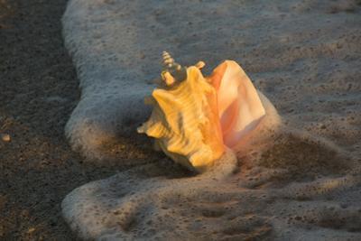Queen Conch Shell at Edge of Surf on Sandy Beach, Nokomis, Florida, USA by Lynn M. Stone