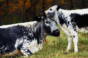 Randall Cow with Calf in Autumn, South Kent, Connecticut, USA by Lynn M. Stone