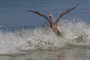 Reddish Egret (Egretta Rufescens) Hunting Small Marine Fish at Surf's Edge by Lynn M. Stone