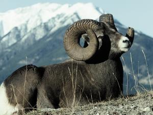 Rocky Mountain Bighorn Sheep, Jasper National Park by Lynn M. Stone