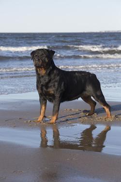 Rottweiler at Ocean's Edge on a Long Island Sound Beach, Madison, Connecticut, USA by Lynn M. Stone
