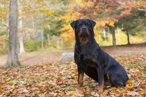 Rottweiler in Autumn, E. Haddam, Connecticut, USA by Lynn M. Stone
