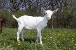 Saanen Goat Kid in Green Pasture, East Troy, Wisconsin, USA by Lynn M. Stone
