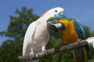 Salmon-Crested Cockatoo (L) and Blue and Gold Macaw (R), Captive, Mutual Grooming by Lynn M. Stone