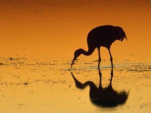Sandhill Crane, Feeding at Sunset, Florida, USA by Lynn M. Stone