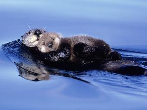 Sea Otter with Offspring by Lynn M. Stone