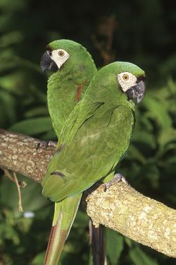 Severe Macaw (Ara Severa), also known as Chesnut- Fronted Macaw by Lynn M. Stone