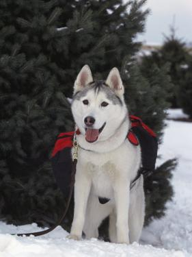 Siberian Husky on Lead Carrying a Bag, USA by Lynn M. Stone