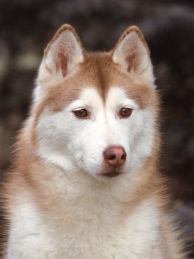 Siberian Husky Portrait, USA by Lynn M. Stone
