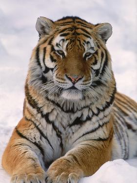 Siberian Tiger in Snow, Panthera Tigris Altaica by Lynn M^ Stone
