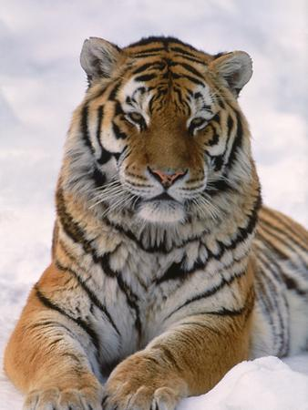 Siberian Tiger in Snow, Panthera Tigris Altaica by Lynn M. Stone