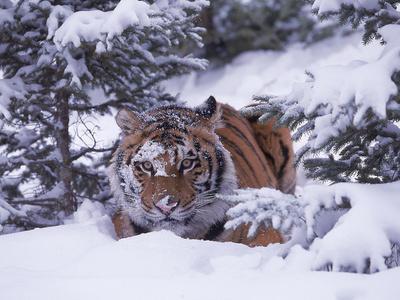 Siberian Tiger, Panthera Tigris Altaica