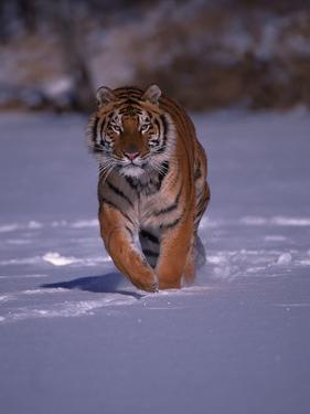 Siberian Tiger Running in the Snow by Lynn M. Stone