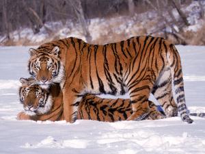 Siberian Tigers by Lynn M. Stone