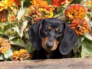 Smooth-Haired Mini Dachshund Puppy in Box by Lynn M. Stone