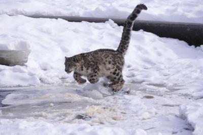 Snow Leopard Jumping (Panthera Uncia) Usa