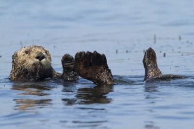 Southern Sea Otter by Lynn M. Stone