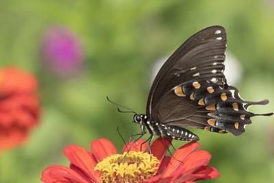Spicebush Swallowtail Butterfly by Lynn M. Stone