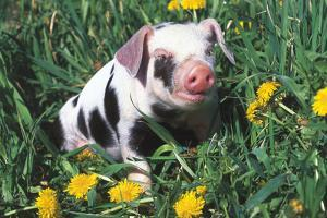 Spotted Mixed-Breed Piglet Sits in Grass and Dandelions, Freeport, Illinois, USA by Lynn M. Stone