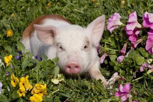 Spotted Piglet in Grass, Pink Petunias, and Yellow Pansies, Dekalb, Illinois, USA by Lynn M. Stone