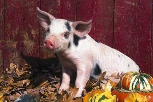 Spotted Piglet Sitting Among Oak Leaves and Autumn Gourds by Red Barn, Freeport, Illinois, USA by Lynn M. Stone