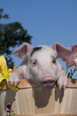 Spotted White Piglet in Peach Basket with Lilies, Sycamore, Illinois, USA by Lynn M. Stone