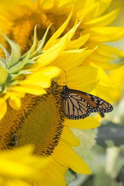 Sunflower and Monarch by Lynn M. Stone