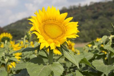 Sunflower by Lynn M. Stone