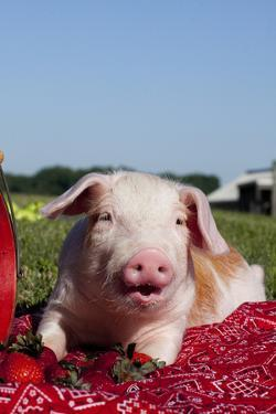 Tan and White Piglet Oinking, with Strawberries, Sycamore, Illinois, USA by Lynn M. Stone