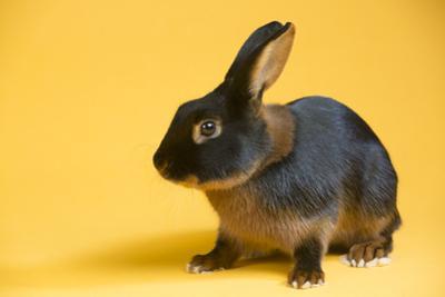Tan (Breed) Rabbit