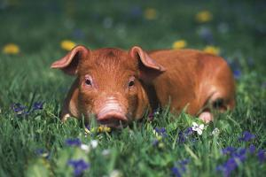 Tan Piglet Lying in Grass and Violets with Dandelions in Background, Freeport, Illinois, USA by Lynn M. Stone