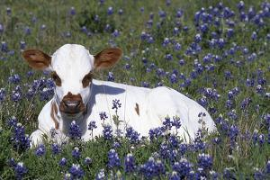 Texas Longhorn Calf in Bluebonnets (Lupine Sp.), Texas Hill Country, Burnet, Texas by Lynn M. Stone