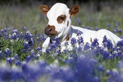 Texas Longhorn Calf in Bluebonnets (Lupine Sp.), Texas Hill Country, Burnet, Texas