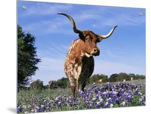 Texas Longhorn Cow, in Lupin Meadow, Texas, USA by Lynn M. Stone