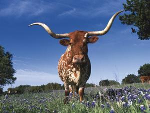 Texas Longhorn in Bluebonnets, Texas by Lynn M. Stone