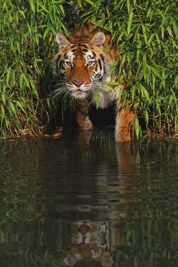 Tiger Casting Reflection in Pond Water as it Stalks from Bamboo Thicket (Captive) by Lynn M. Stone