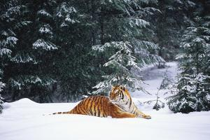 Tiger Lying in Snow Drift While Snow Falls Against a Backdrop of Evergreen Trees (Captive) by Lynn M. Stone