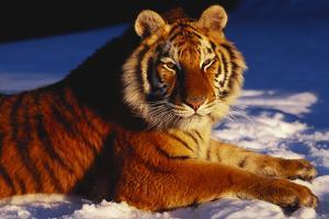 Tiger Lying in Snow in Late Afternoon Light (Captive) by Lynn M. Stone