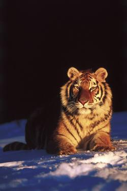 Tiger on Snow Just before Sunset (Captive Animal) by Lynn M. Stone